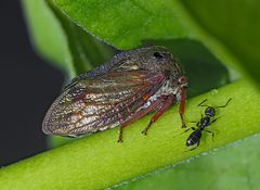 Dornzikade (Centrotus cornutus) mit Ameise - Centrotus cornutus ou Demi-Diable avec une fourmi.