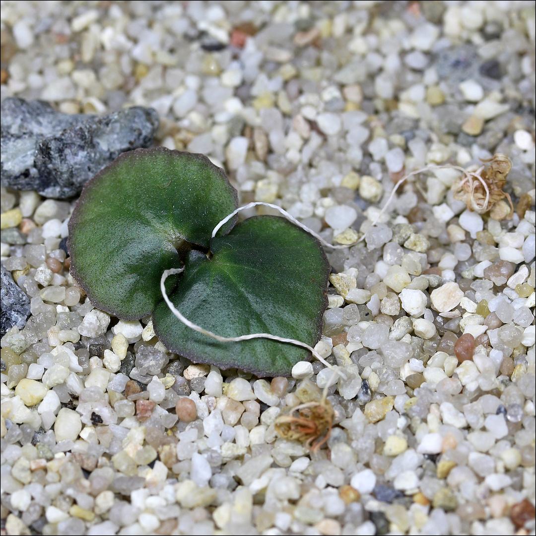 Dorstenia barminiana