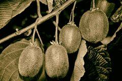 ... dort wo die Kiwi's wachsen ...