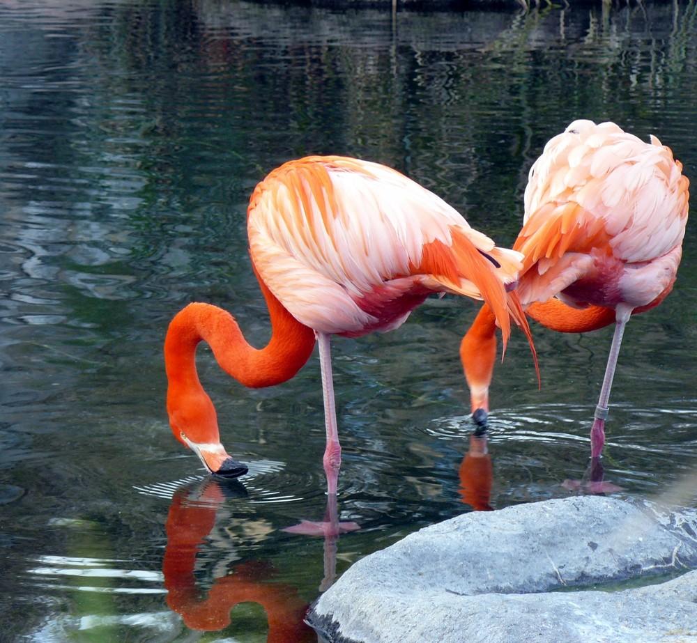 dos flamencos rosados---