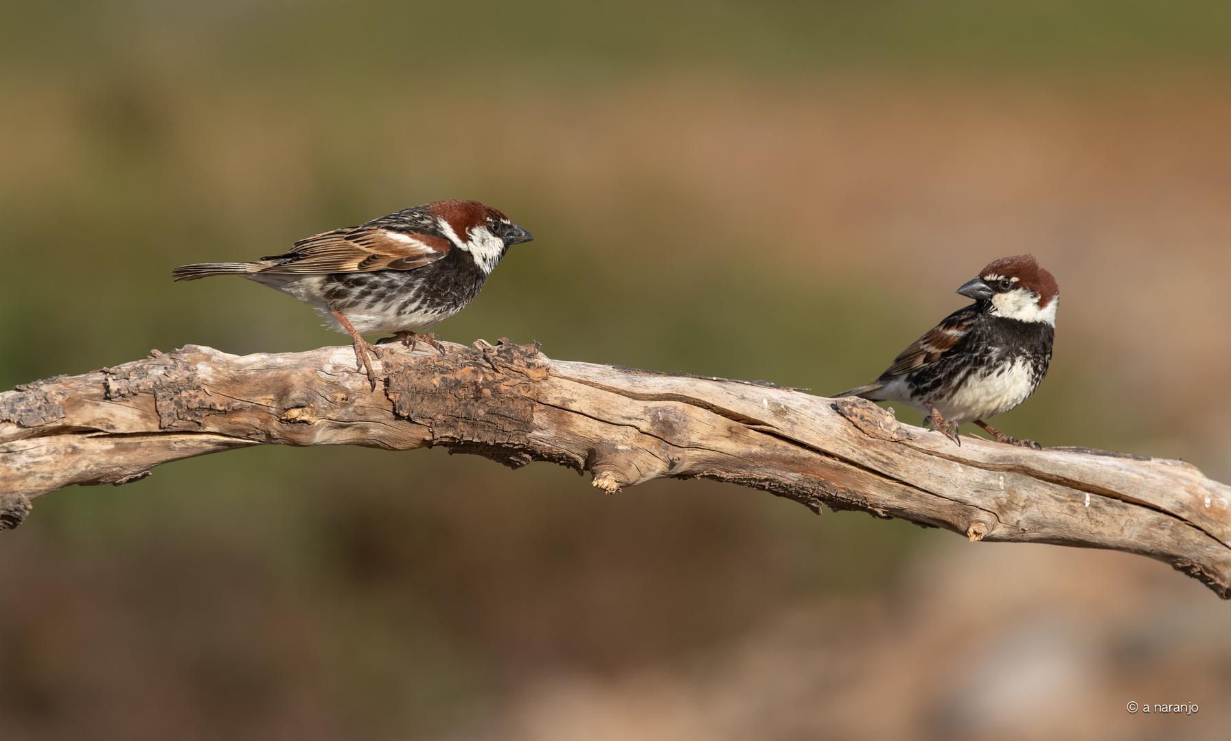 Dos gorriones morunos -Gran Canaria