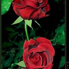 Dos rosas Rojas Aterciopeladas