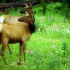 Double Deer in Canada