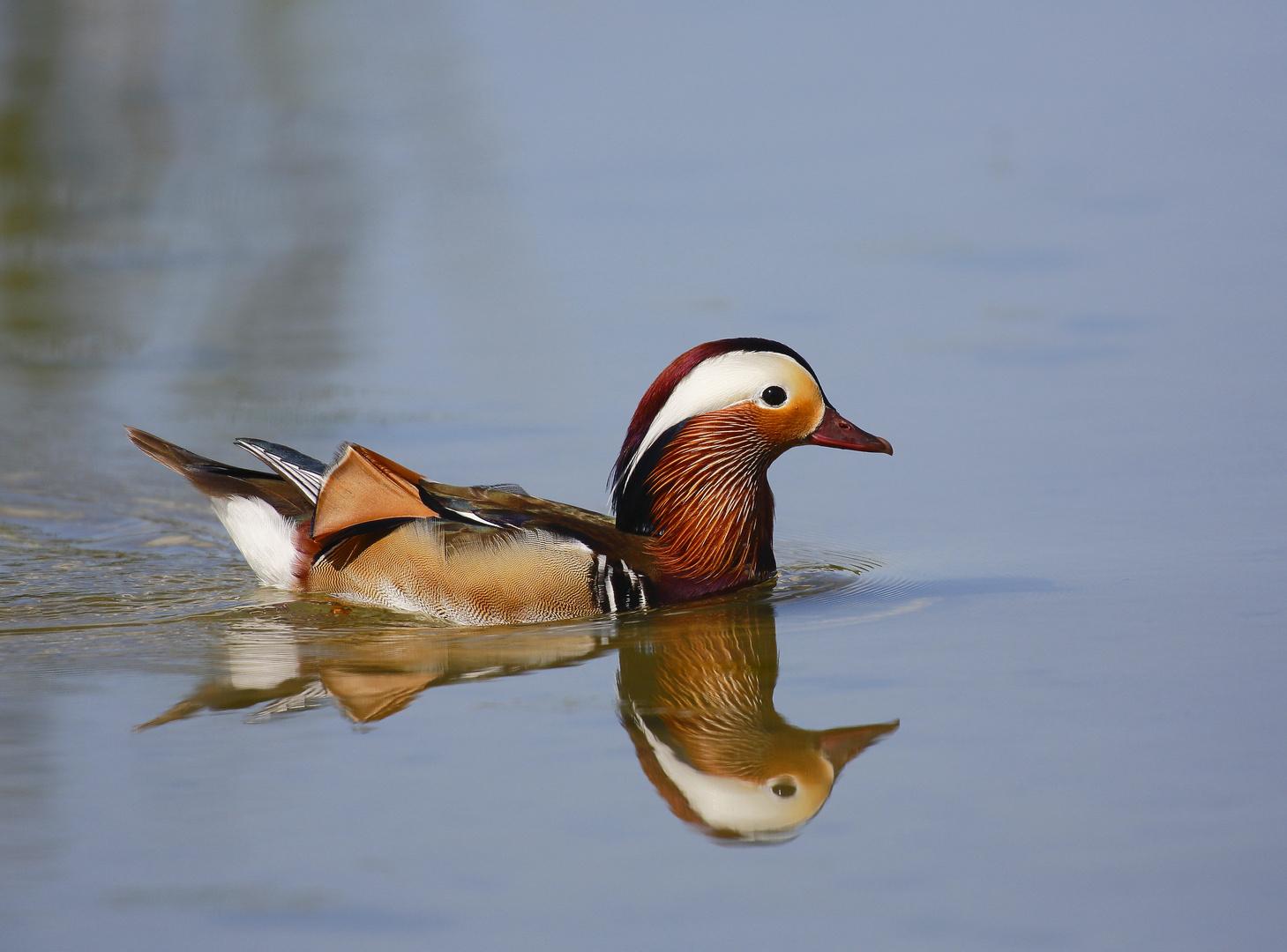 """double mandarina duck"""