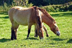 Doublehead horse
