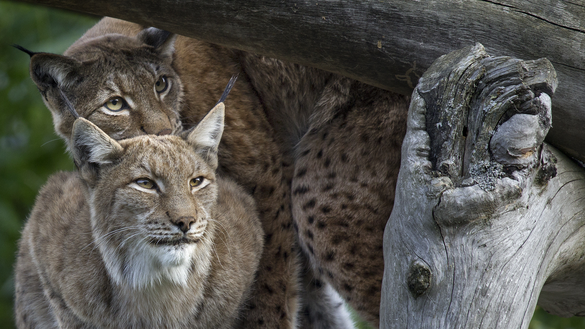 DOUBLELYNX SPOTTING FOR DINNER