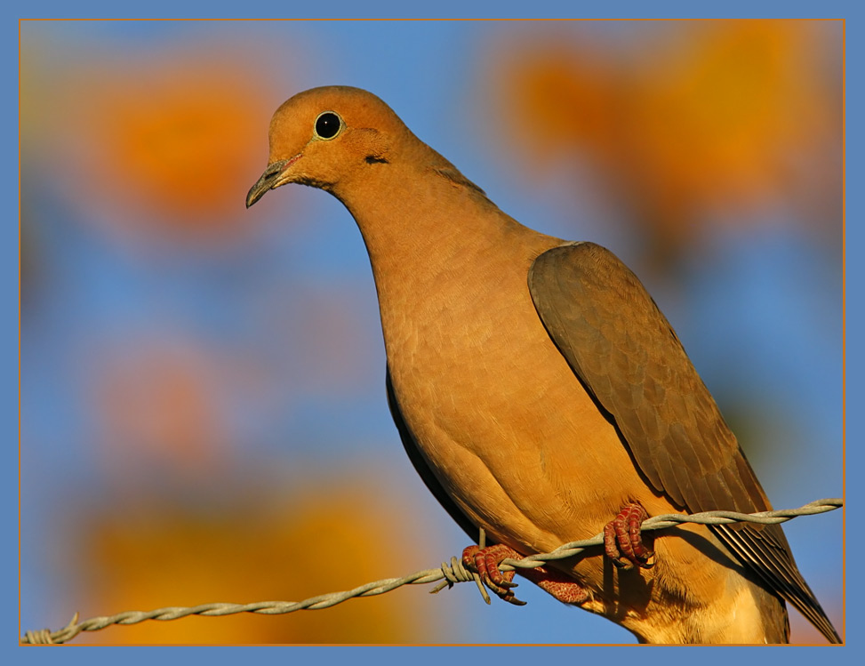Dove in automnal light ...