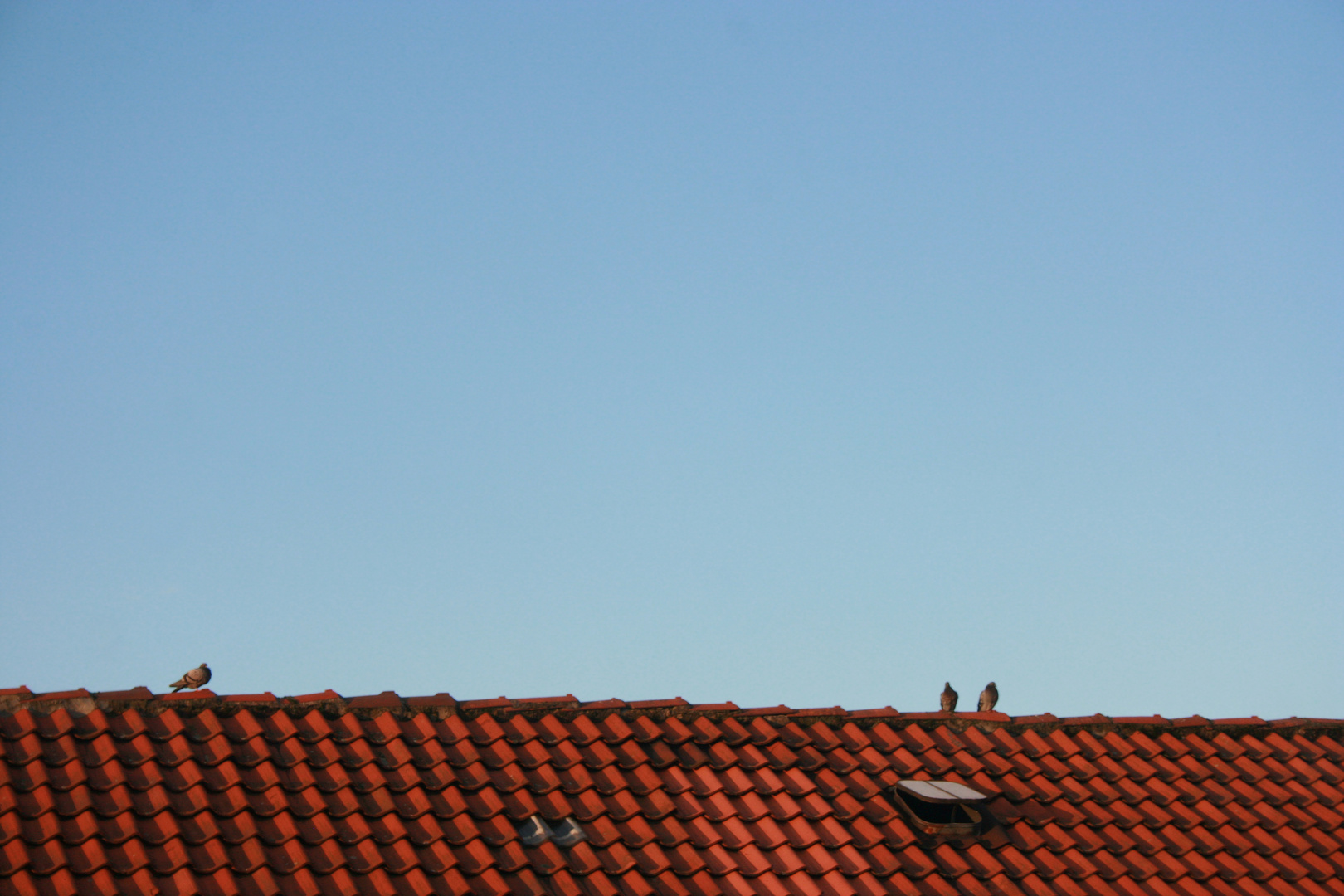 Dove on the roof...