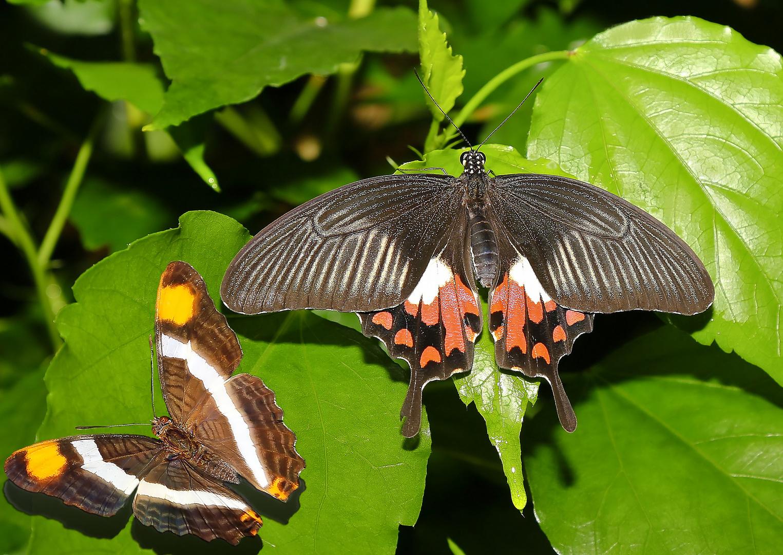 Doxocopa laure ( F ) - Papilio polytes ( F )