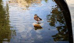 dozing duck