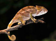 Drachen Madagaskars