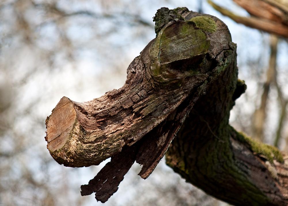 Drachenbaum...