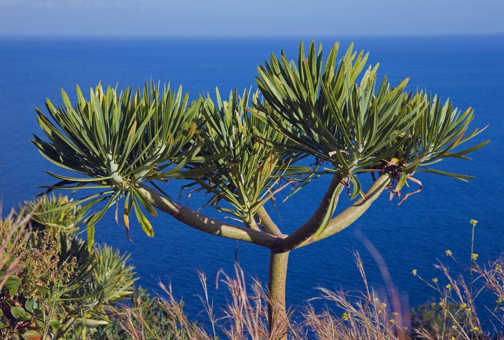 drachenbaum-nachwuchs