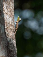 Draco sumatranus