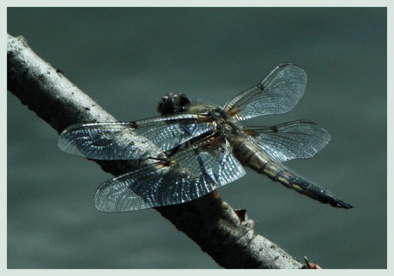 - Dragon Fly -