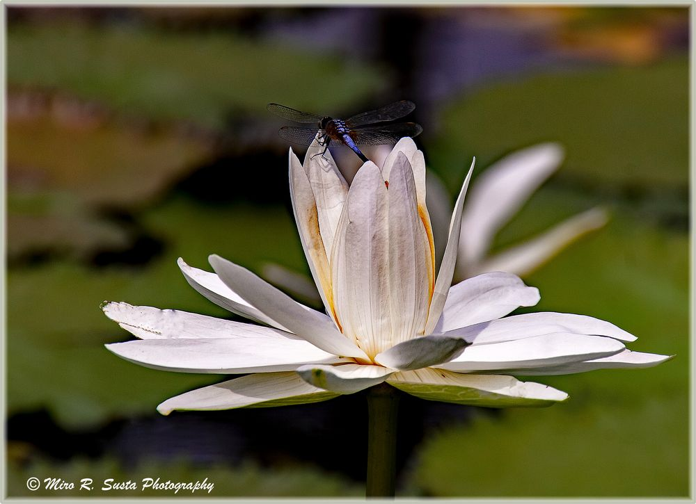 Dragon Fly and the White Water Lily