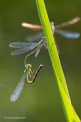 Dragonflies #33