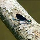 Dragonflies - Blauflügel-Prachtlibelle