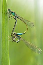 Dragonflies in love