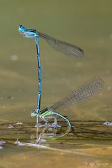 Dragonflies in love (2)