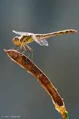Dragonfly #18