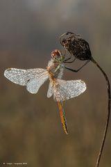 Dragonfly #21