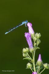 Dragonfly #30
