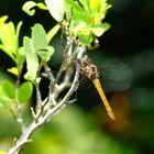 Dragonfly Amarillo