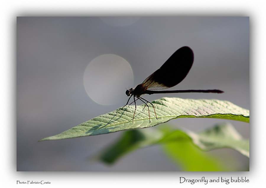 Dragonfly and big bubble