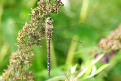 dragonfly cross