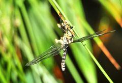 ...dragonfly....