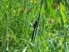 Dragonfly (Libélula)