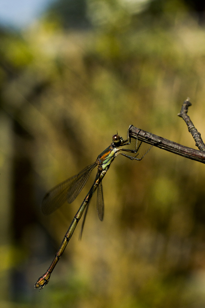 Dragonfly on bough
