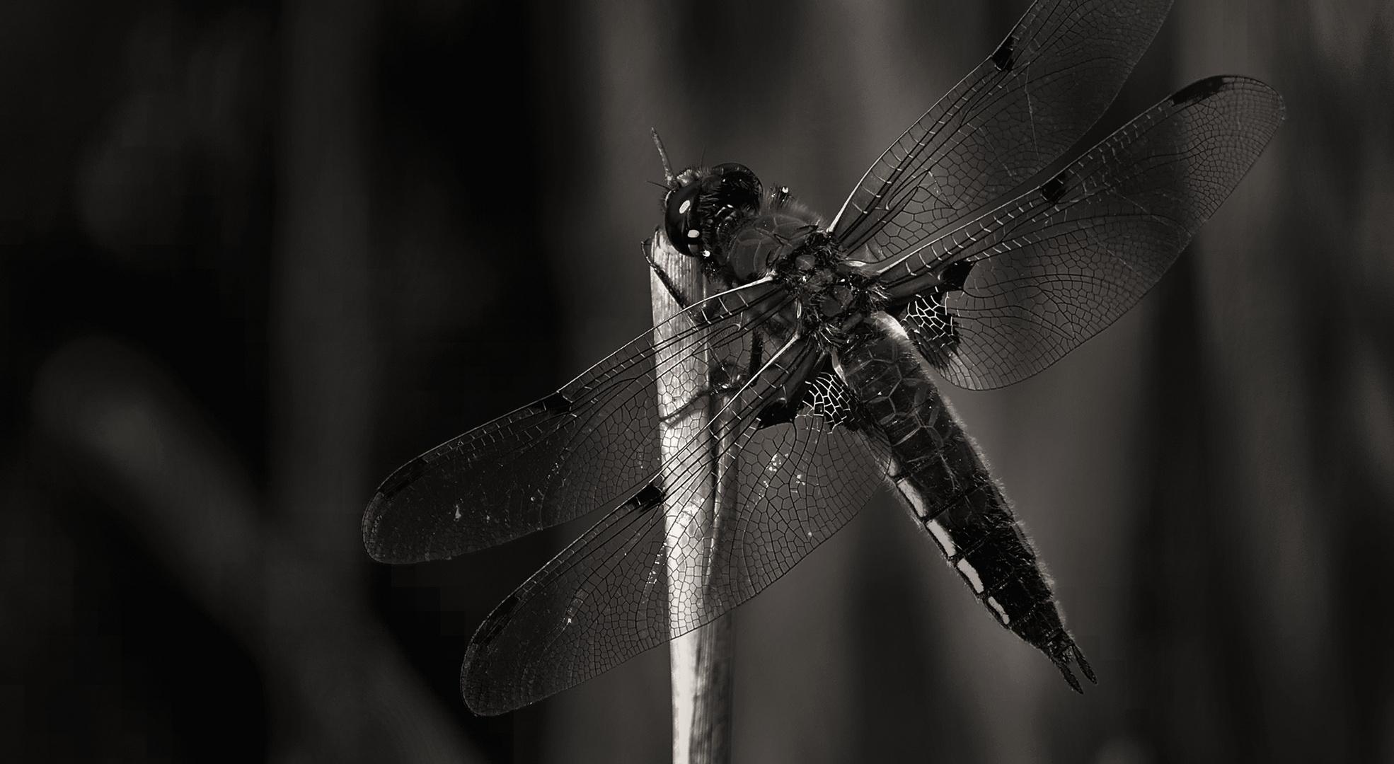 Dragonfly quadrimaculata