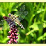 Dragonfly visiting a Lysimachia