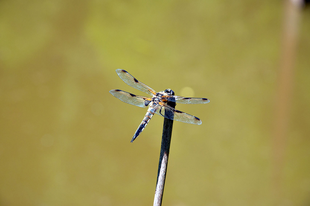 Dragonfly Welcomes Spring