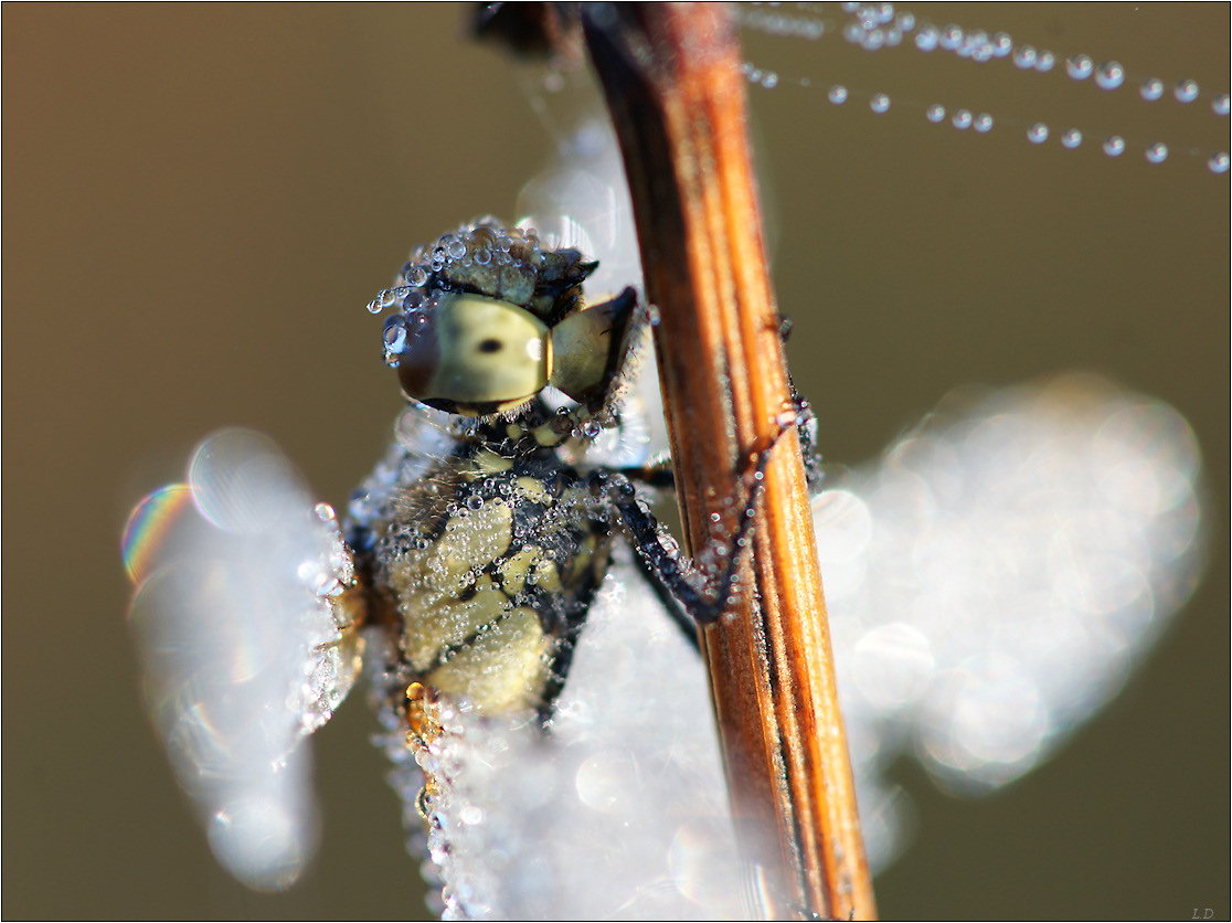Dragonfly with washed eyes