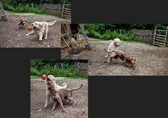 Dragos Hunde beim Ballspielen auf dem Bauernhof!