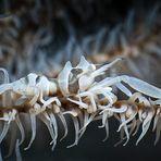 Drahtkorallen-Garnele auf Schwarzer Koralle