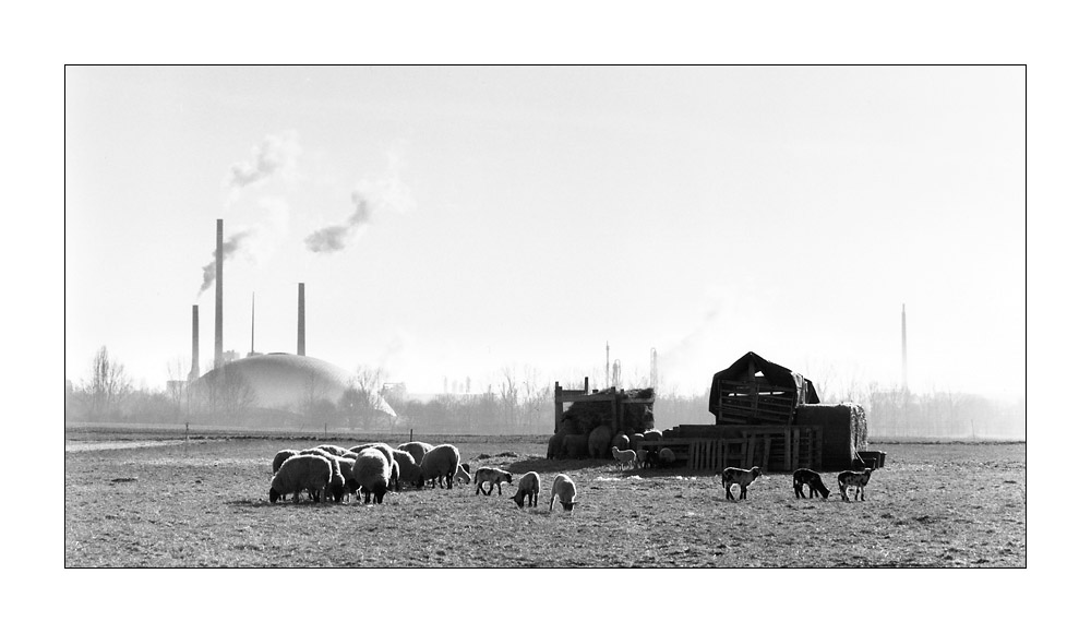 Dream of sheep - Rural life in Frankfurt