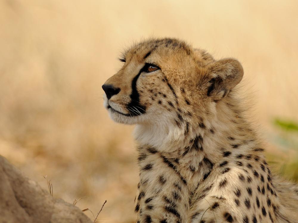 Dreaming Cheetah