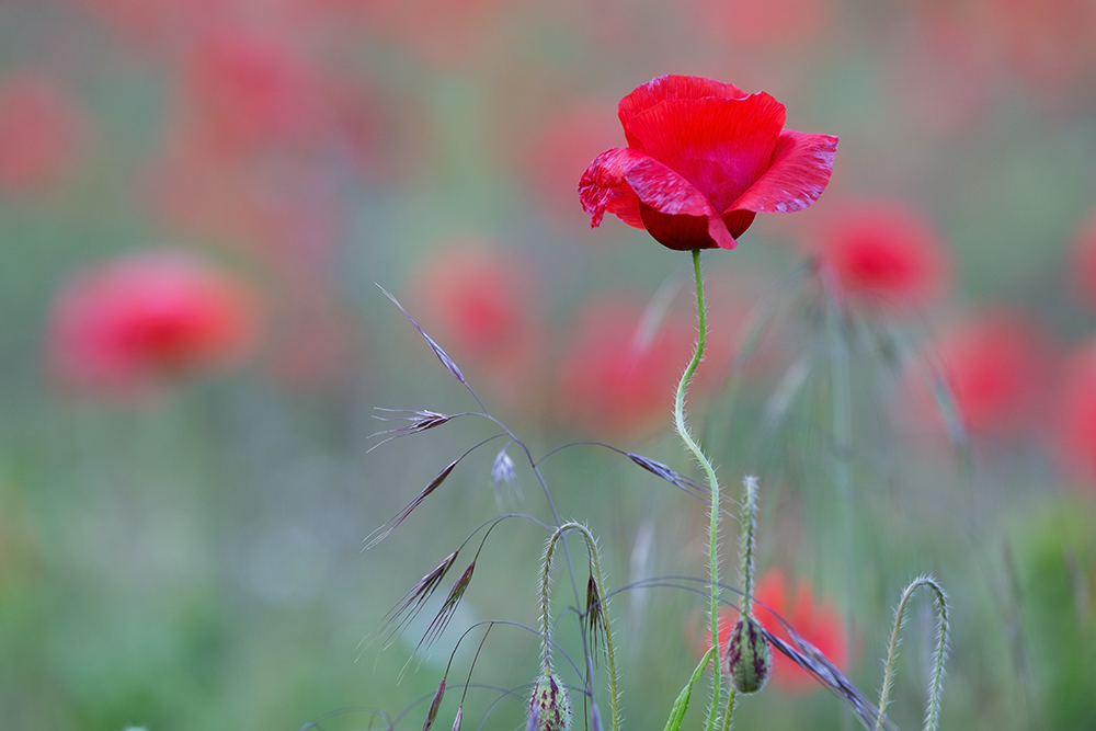 Dreams of poppies ...