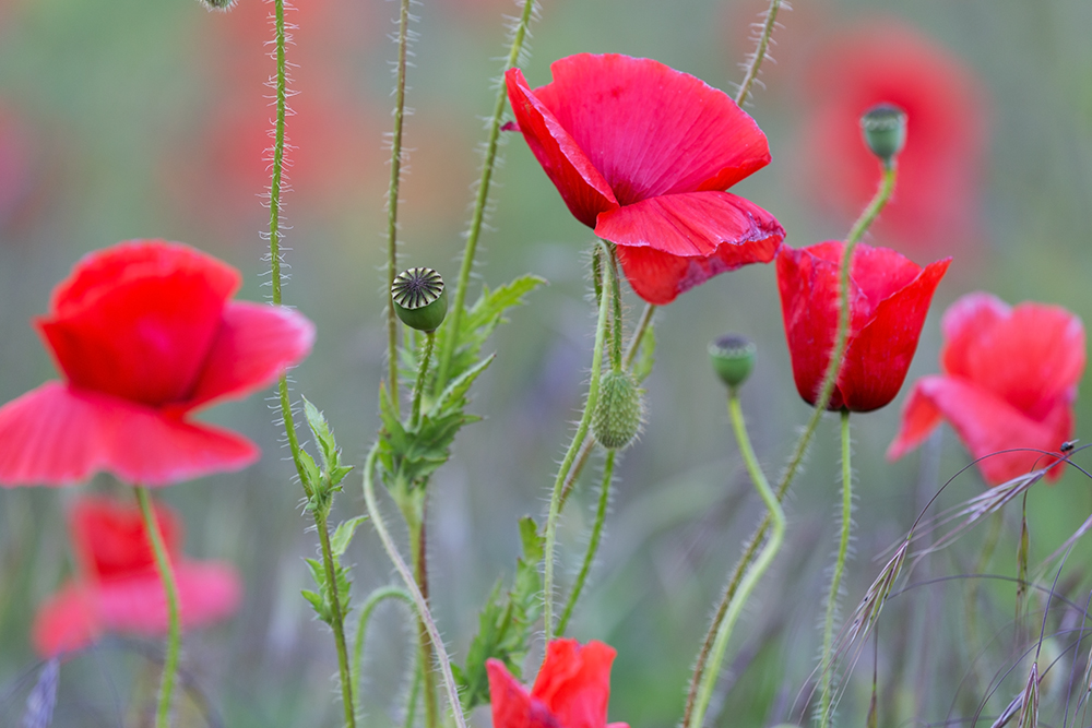 Dreams of poppies ... Part2