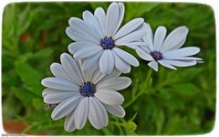 Drei Blüten ..