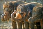 Drei Elefanten