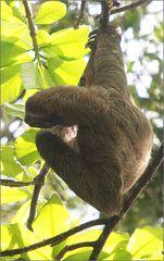 drei-finger-faultier / three-toed sloth / bradypus variegatus (60 cm)