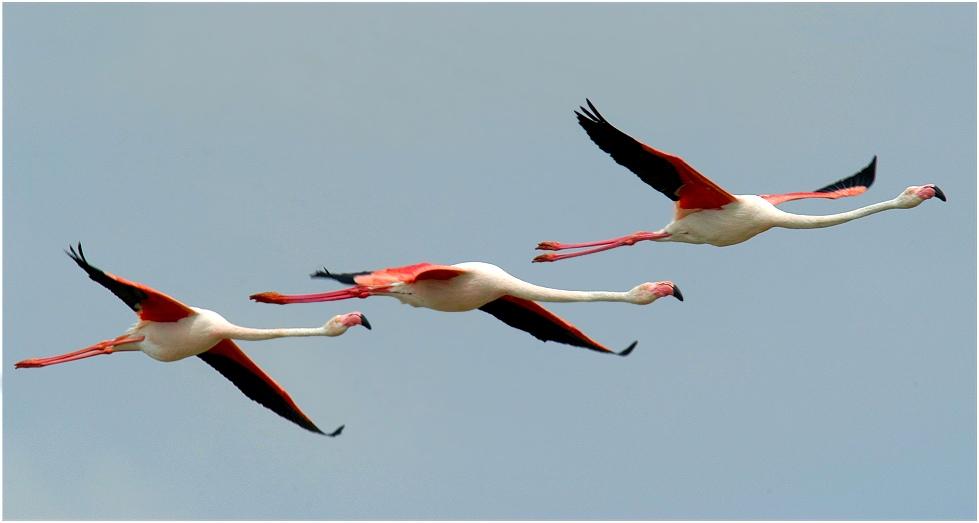 Drei Flamingos im Vorbeiflug...