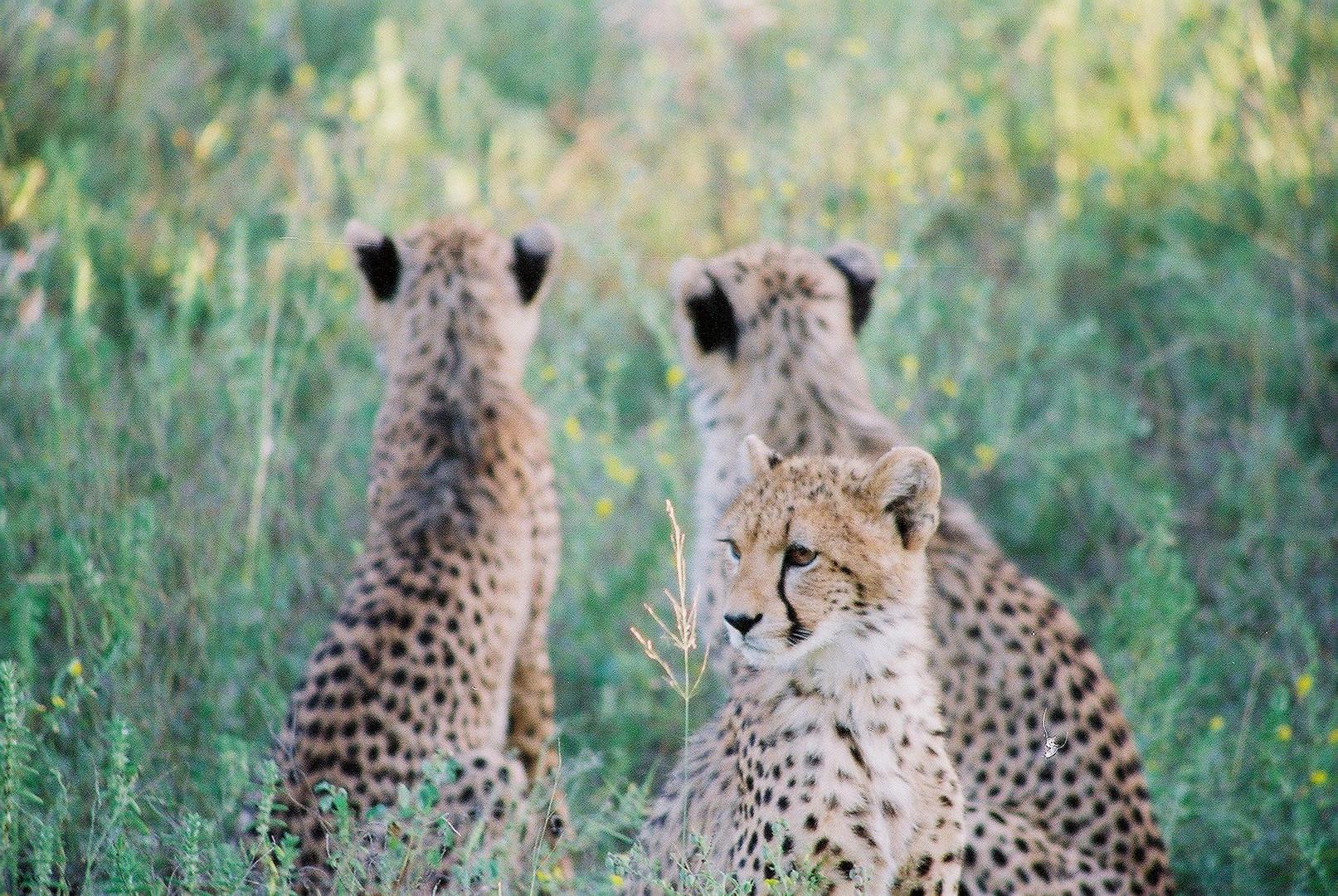 Drei Gepardenkinder im Thornybush Wildreservat