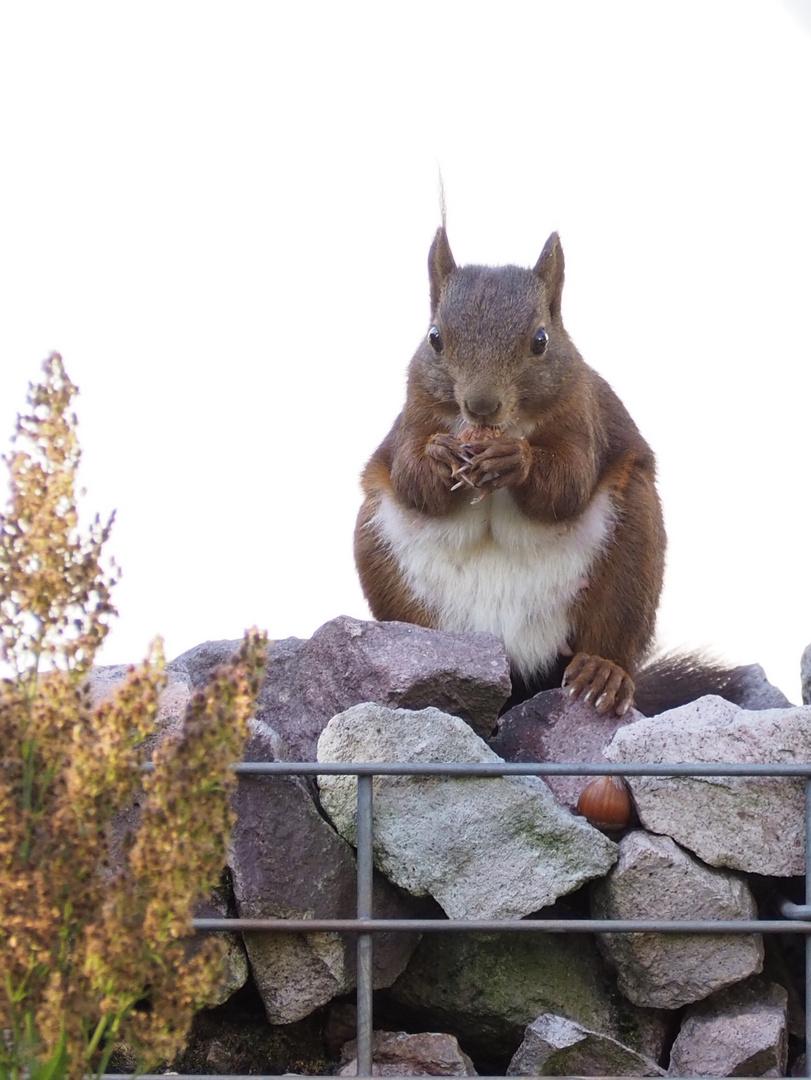 Drei Haselnüsse für ... Eichhörnchen