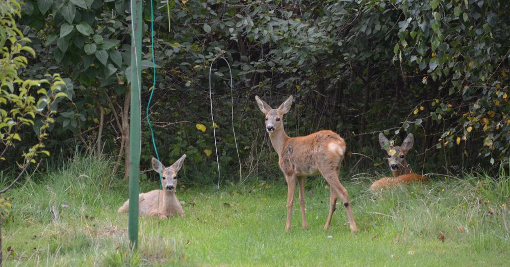 Drei Hausrehe Vitte /Insel Hiddensee